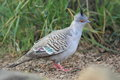 Crested pigeon Royalty Free Stock Photo