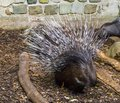 Crested porcupine raising and spreading its quills to defend its child a defensive and threatening pose
