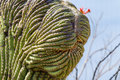 Crested Saguaro Royalty Free Stock Photo