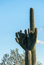Crested Saguaro in National Park West Tucson Royalty Free Stock Photo
