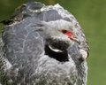 Crested Screamer Royalty Free Stock Photo