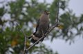 Crested serpent eagle perching on a branch Royalty Free Stock Photography