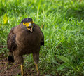 Crested serpent eagle the spilornis cheela is a medium sized bird of prey that is found in forested habitats across tropical asia Stock Photo