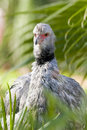 Crested or Southern Screamer Royalty Free Stock Images