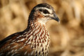 Crested spurfowl Stock Image