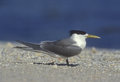 Crested tern sterna bergii single bird by water Stock Photo