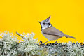 Crested Tit sitting on beautiful lichen branch with clear yellow background. Bird in the nature habitat. Detail portrait of Songbi Royalty Free Stock Photo