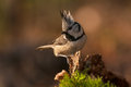 Crested tit small colorful bird Royalty Free Stock Photography