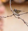 Crested tit in springtime a lophophanes cristatus perches on a sprouting twig Stock Images