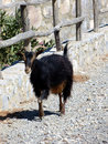 Cretan goat the indigenous inhabitants of crete and today you can meet on the island the wild ancestor of the domestic bezoar ibex Royalty Free Stock Photos