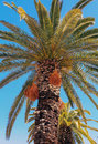 Crete date palm tree a cretan phoenix theophrastii against a blue sky on its native island Royalty Free Stock Images