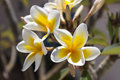 Crete flowers close up of frangipani plumeria in greece Royalty Free Stock Photo