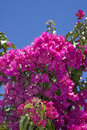 Crete flowers a hedge of bougainvillea with white and purple island Royalty Free Stock Photo