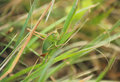 Cricket on a blade of grass Royalty Free Stock Photo
