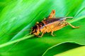 Cricket in nature brown asian species are climbing on the leaf Royalty Free Stock Images