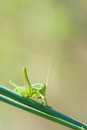 Cricket nymph the close up of a green on grass Royalty Free Stock Photos