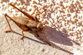 A cricket ready to jump on sunny wall with nice shadow Royalty Free Stock Images
