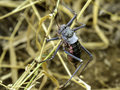 Crickets corn climbing up dry grass Stock Photography