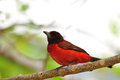 Crimson backed tanager beautiful perched on a tree branch in the rain forest of panama Stock Image