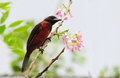 Crimson backed tanager beautiful ramphocelus dimidiatus eating flowers from a tree Stock Photos