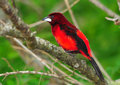 Crimson backed tanager beautiful ramphocelus dimidiatus perched on a tree branch Stock Photography