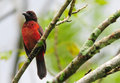 Crimson backed tanager beautiful ramphocelus dimidiatus perched on a tree branch Royalty Free Stock Photography