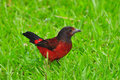 Crimson backed tanager beautiful ramphocelus dimidiatus standing on freshly cut grass Royalty Free Stock Images