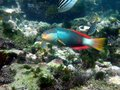 Crimson banded wrasse Royalty Free Stock Photo