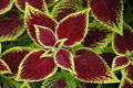 Crimson Coleus Royalty Free Stock Images
