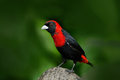 Crimson-collared Tanager, Ramphocelus sanguinolentus, exotic tropic red and black song bird form Costa Rica, in the green forest n Royalty Free Stock Photo