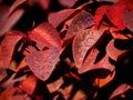 Crimson cover redness basking under the sun bliss Stock Photo