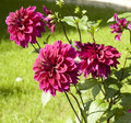 Crimson dahlia few big flowers of raspberry pink colour in garden Royalty Free Stock Image