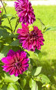 Crimson dahlia three big flowers of raspberry pink colour Royalty Free Stock Images