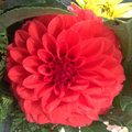 Crimson flower bloom of the Stock Photography