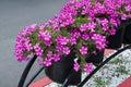 Crimson flowers bindweed black iron pot on city street Royalty Free Stock Photo