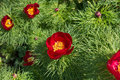 Crimson flowers of Paeonia tenuifolia