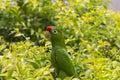 Crimson fronted parakeet in costa rica sitting a tree tamarindo Royalty Free Stock Image