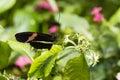 Crimson Longwing Butterfly