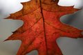 Crimson oak leaf macro a close up of a back lit autumn tree Royalty Free Stock Images