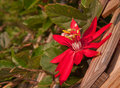 Crimson passion vine flower blooming on a wooden trellis Royalty Free Stock Images