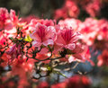 Crimson peach sakura, cherry blossom flowers of Nara. Royalty Free Stock Photo