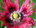 Crimson poppy close up Stock Images