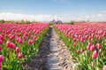 Crimson red tulip flowers field and bicycle