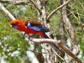 Crimson rosella the australian platycercus elegans in a tree in australia Royalty Free Stock Photos