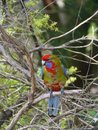 Crimson rosella a young australian platycercus elegans in a tree in australia Stock Photos