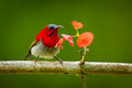 Crimson sunbird aethopyga siparaja with flower in nature at kitchakoot mountain national park thailand Stock Photography