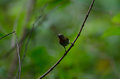 Crimson Sunbird perching on a branc Royalty Free Stock Photo