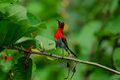 Crimson Sunbird perching on a branc Royalty Free Stock Photo