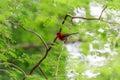 Crimson sunbird Royalty Free Stock Photo