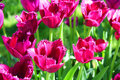 Crimson tulips Stock Image